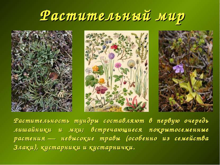 Растительный мир Растительность тундры составляют в первую очередь лишайники ...