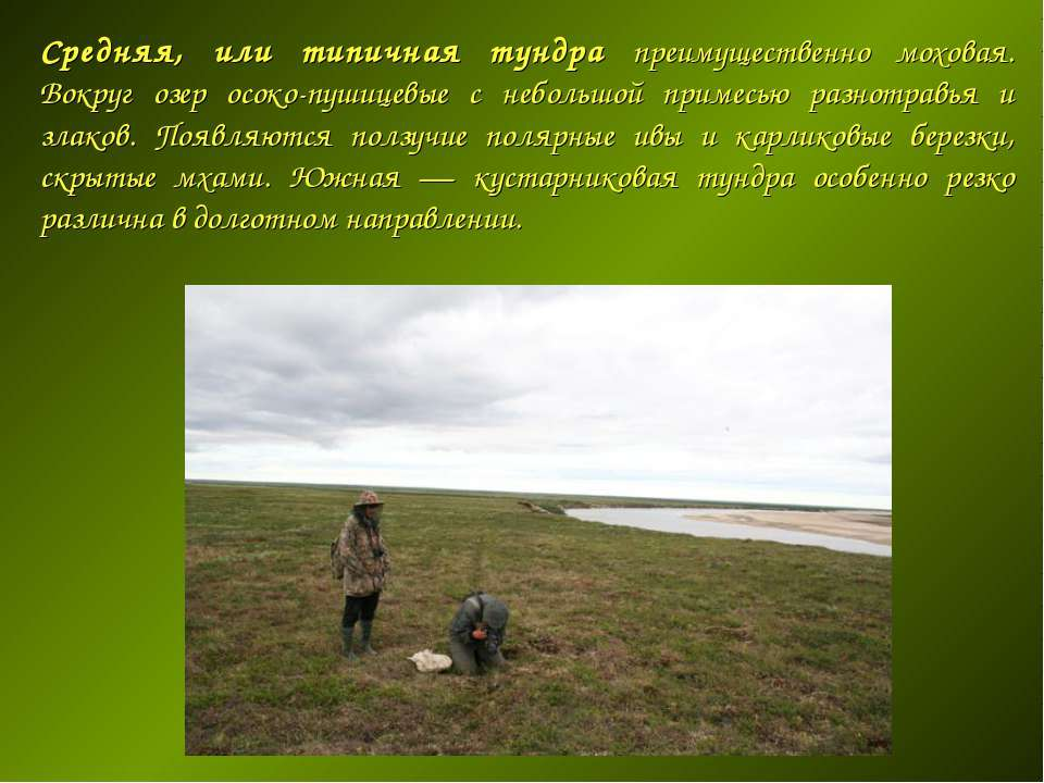 Средняя, или типичная тундра преимущественно моховая. Вокруг озер осоко-пушиц...