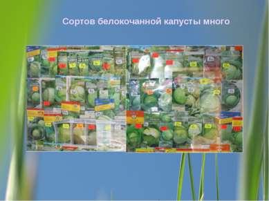 Сортов белокочанной капусты много