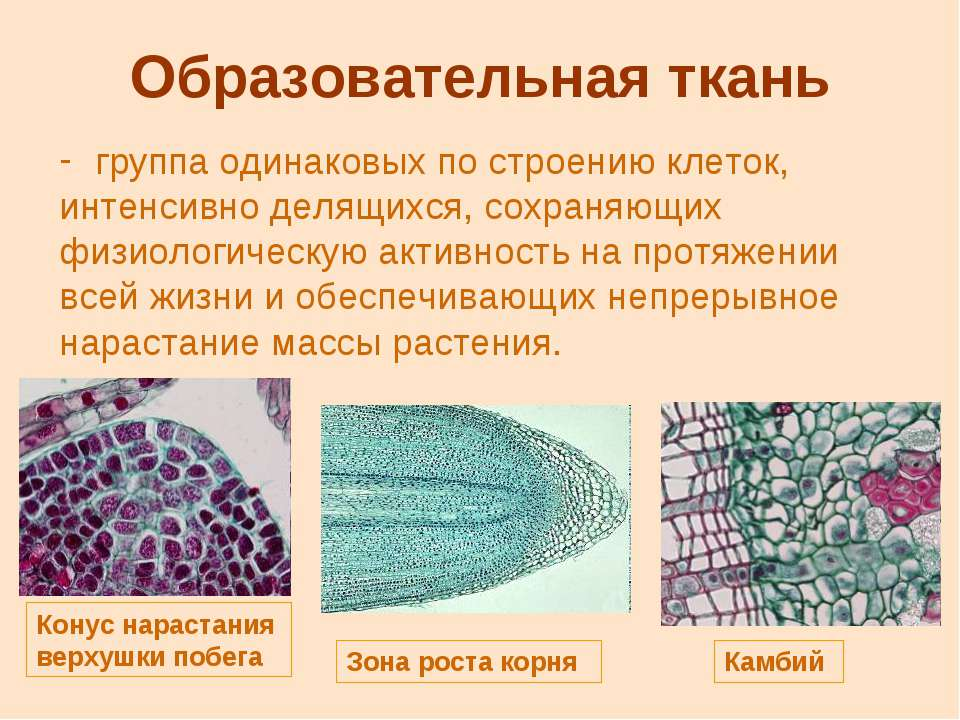 Образовательная ткань группа одинаковых по строению клеток, интенсивно делящи...