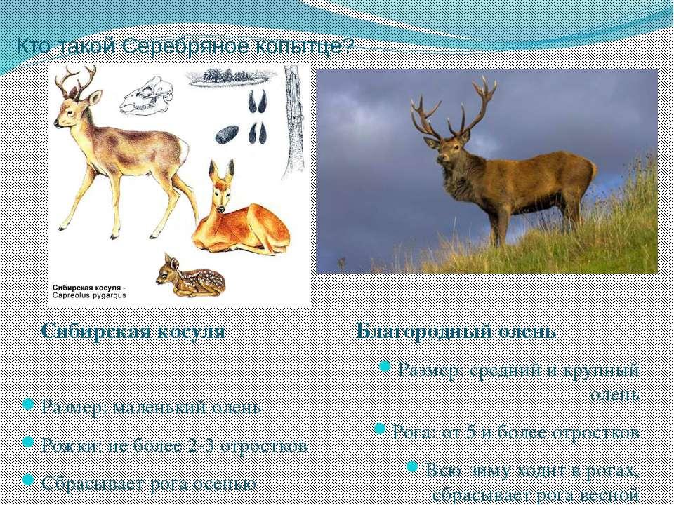 Кто такой Серебряное копытце? Размер: маленький олень Рожки: не более 2-3 отр...