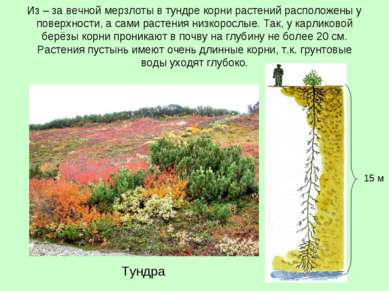 Из – за вечной мерзлоты в тундре корни растений расположены у поверхности, а ...