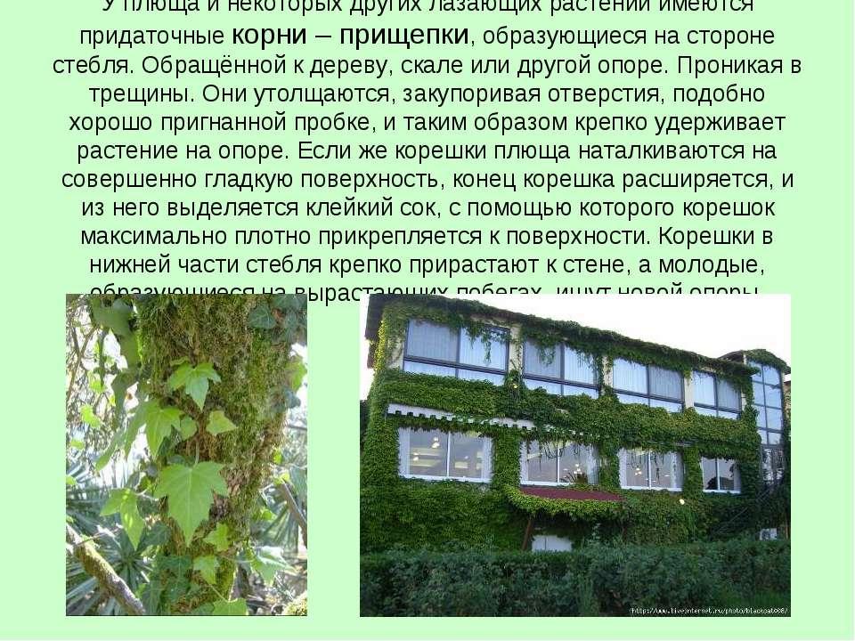 У плюща и некоторых других лазающих растений имеются придаточные корни – прищ...