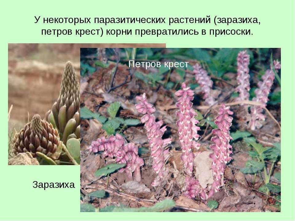 У некоторых паразитических растений (заразиха, петров крест) корни превратили...