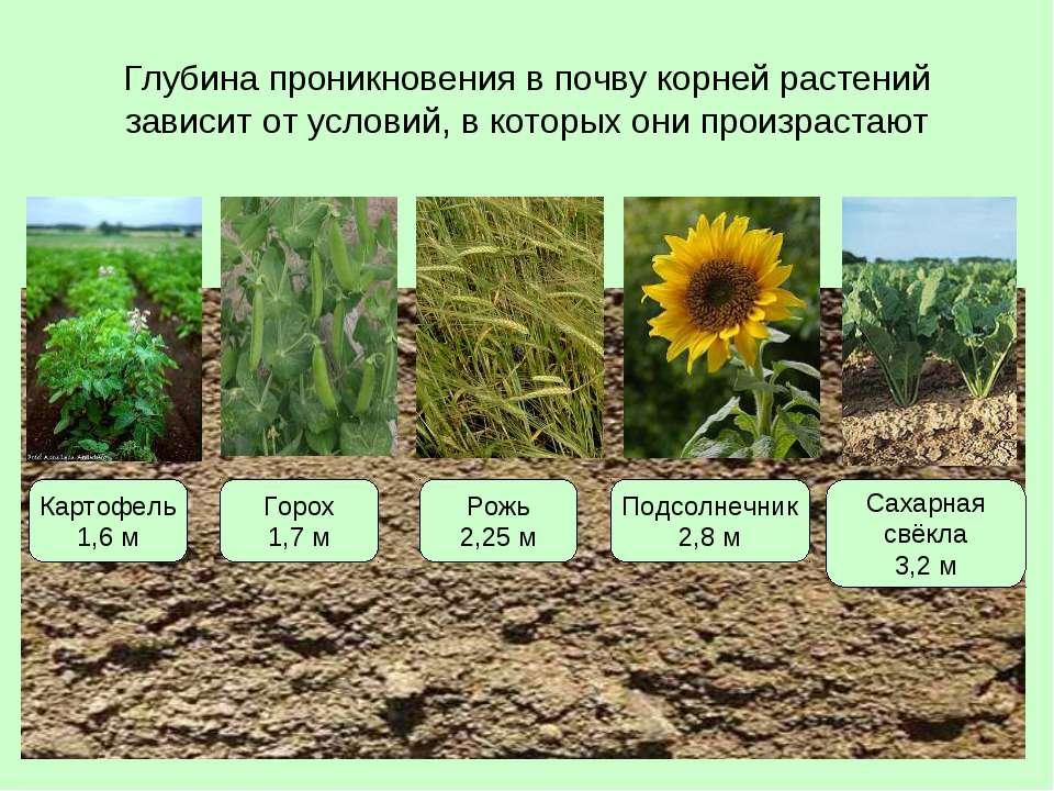 Глубина проникновения в почву корней растений зависит от условий, в которых о...
