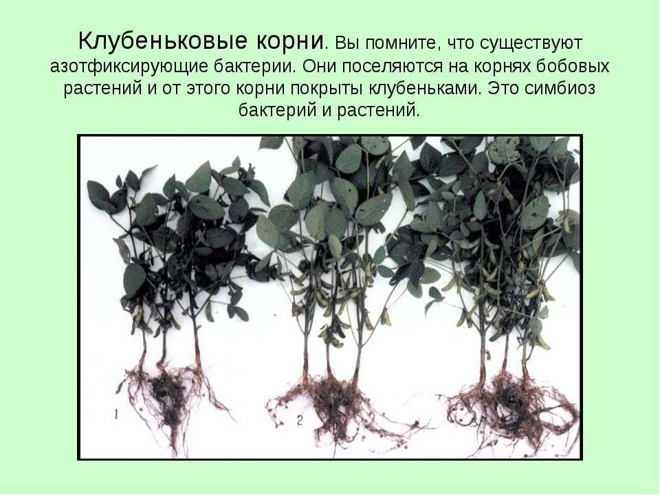 Клубеньковые корни. Вы помните, что существуют азотфиксирующие бактерии. Они ...