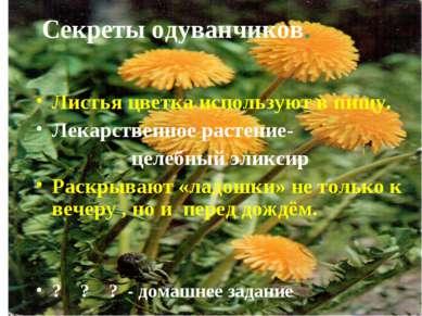 Секреты одуванчиков. Листья цветка используют в пищу. Лекарственное растение-...