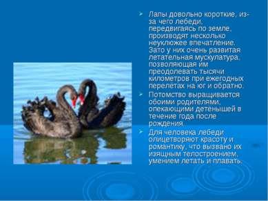 Лапы довольно короткие, из-за чего лебеди, передвигаясь по земле, производят ...