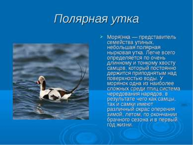 Полярная утка Моря нка — представитель семейства утиных, небольшая полярная н...