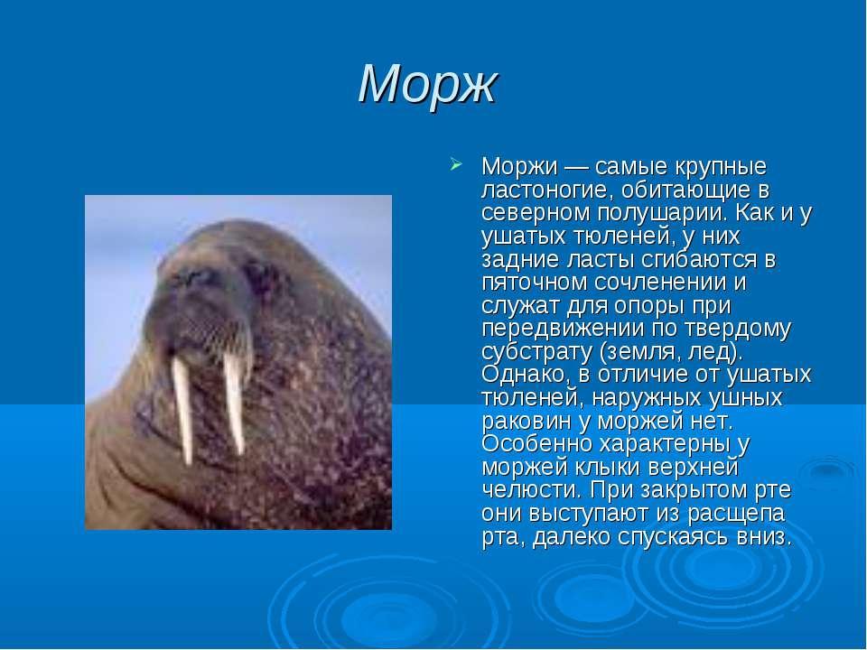 Морж Моржи — самые крупные ластоногие, обитающие в северном полушарии. Как и ...