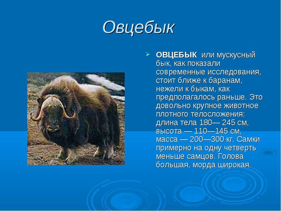Овцебык ОВЦЕБЫК или мускусный бык, как показали современные исследования, сто...