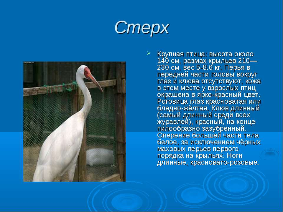 Стерх Крупная птица: высота около 140 см, размах крыльев 210—230 см, вес 5-8....