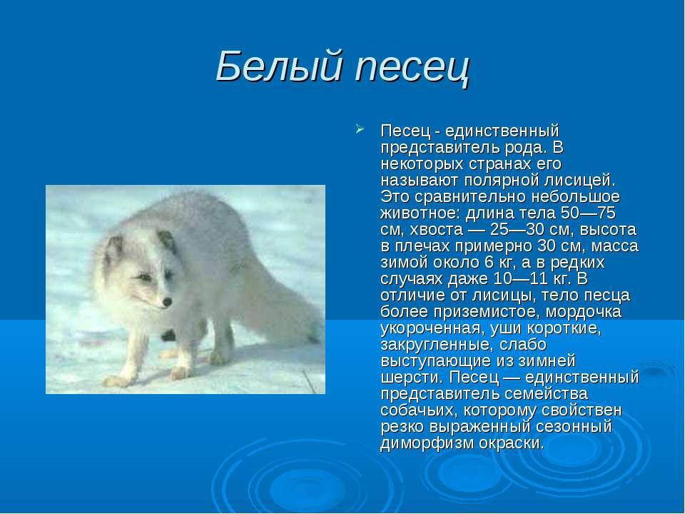 Белый песец Песец - единственный представитель рода. В некоторых странах его ...