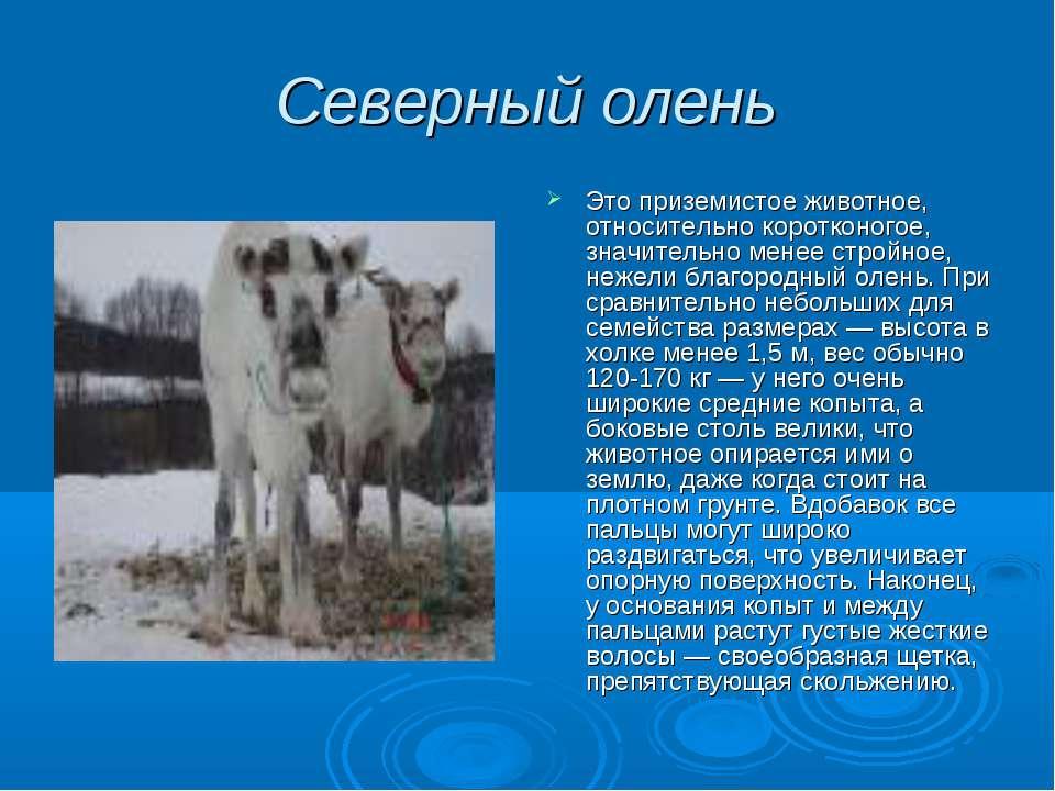 Северный олень Это приземистое животное, относительно коротконогое, значитель...