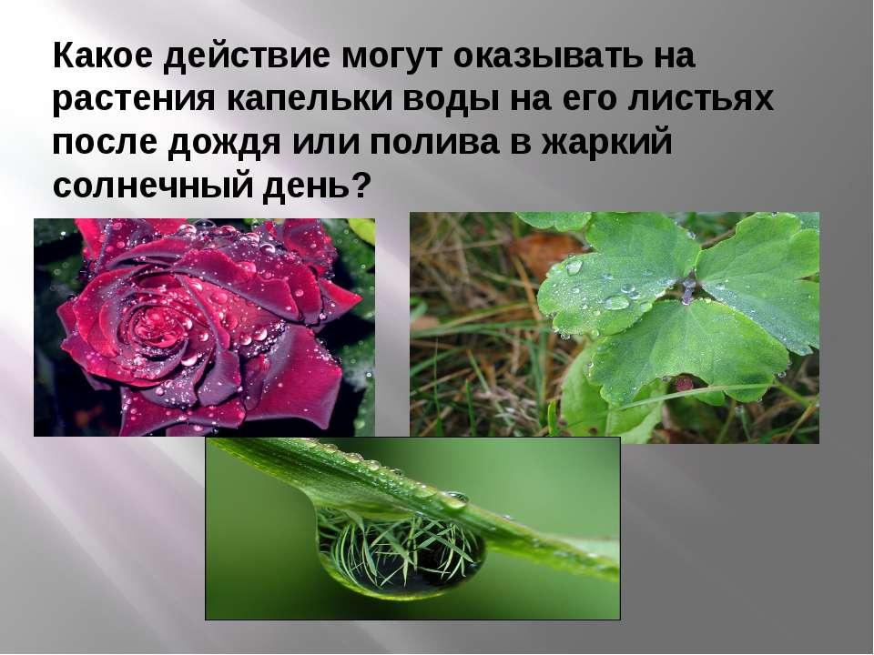 Какое действие могут оказывать на растения капельки воды на его листьях после...