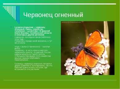 Червонец огненный Lycaena virgaureae – червонец огненный, самец, семейство го...