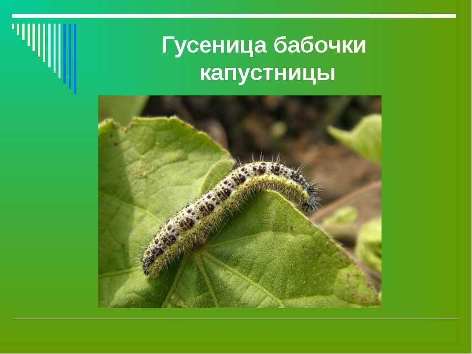 Гусеница бабочки капустницы