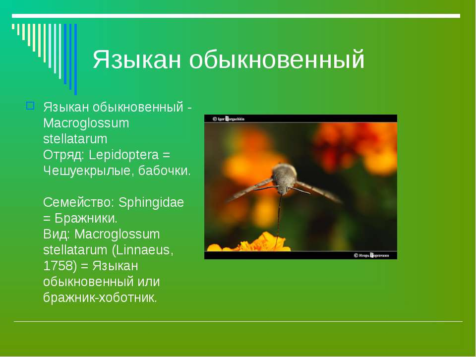 Языкан обыкновенный Языкан обыкновенный - Macroglossum stellatarum Отряд: Lep...