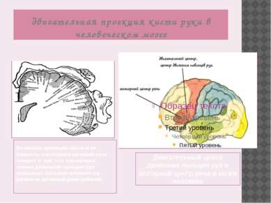двигательная проекция кисти руки в человеческом мозге Величина проекции кисти...