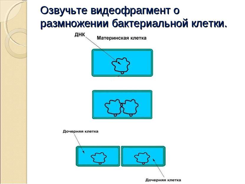 Озвучьте видеофрагмент о размножении бактериальной клетки.
