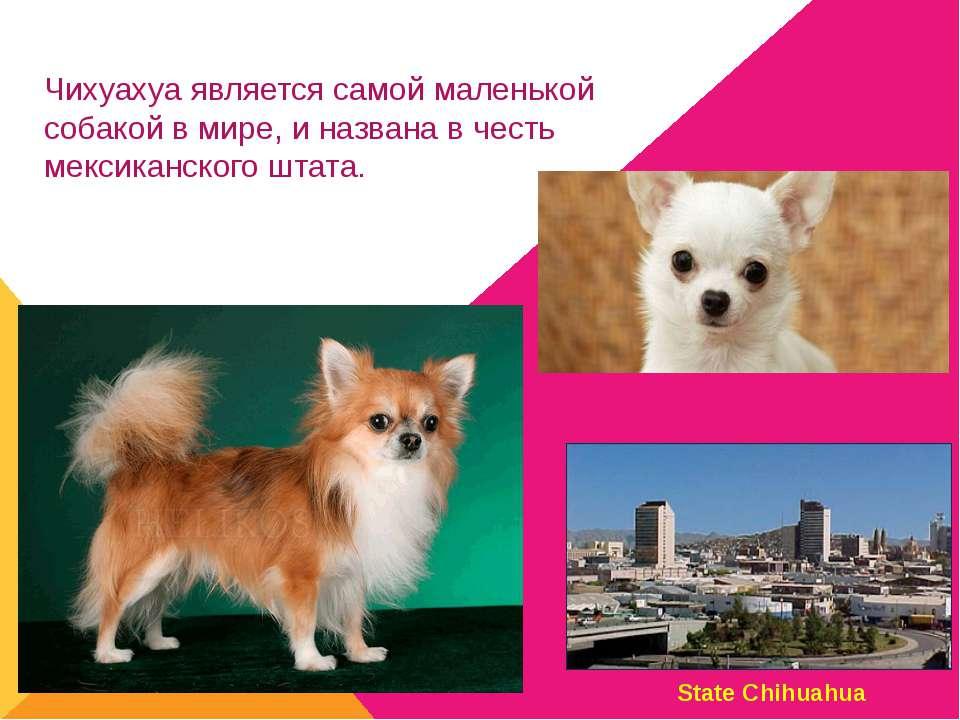 Чихуахуа является самой маленькой собакой вмире, иназвана вчесть мексиканс...