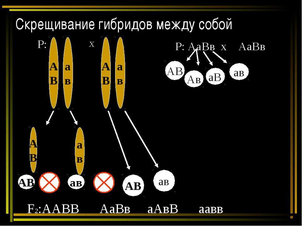 Скрещивание гибридов между собой Р: Х А В а в АВ ав аВ Ав Р: АаВв х АаВв АВ А...