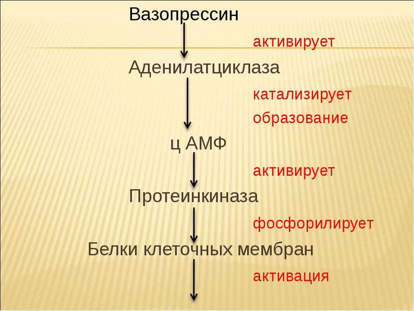 Вазопрессин активирует Аденилатциклаза катализирует образование ц АМФ активир...