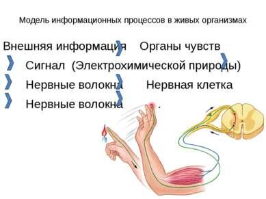 Модель информационных процессов в живых организмах Внешняя информация Органы ...