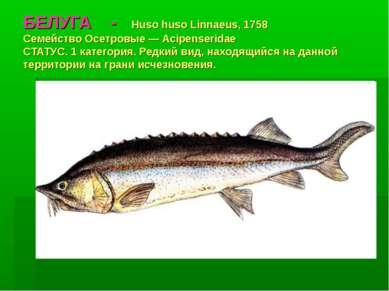 БЕЛУГА - Huso huso Linnaeus, 1758 Семейство Осетровые — Acipenseridae СТАТУС....