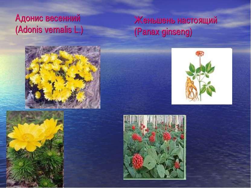Адонис весенний (Adonis vernalis L.) Женьшень настоящий (Panax ginseng)