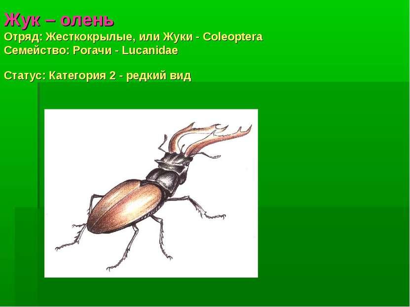 Жук – олень Отряд: Жесткокрылые, или Жуки - Coleoptera Семействo: Рогачи - Lu...