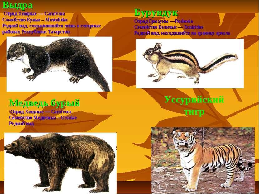 Выдра Отряд Хищные — Carnivora Семейство Куньи – Mustelidae Редкий вид, сохра...