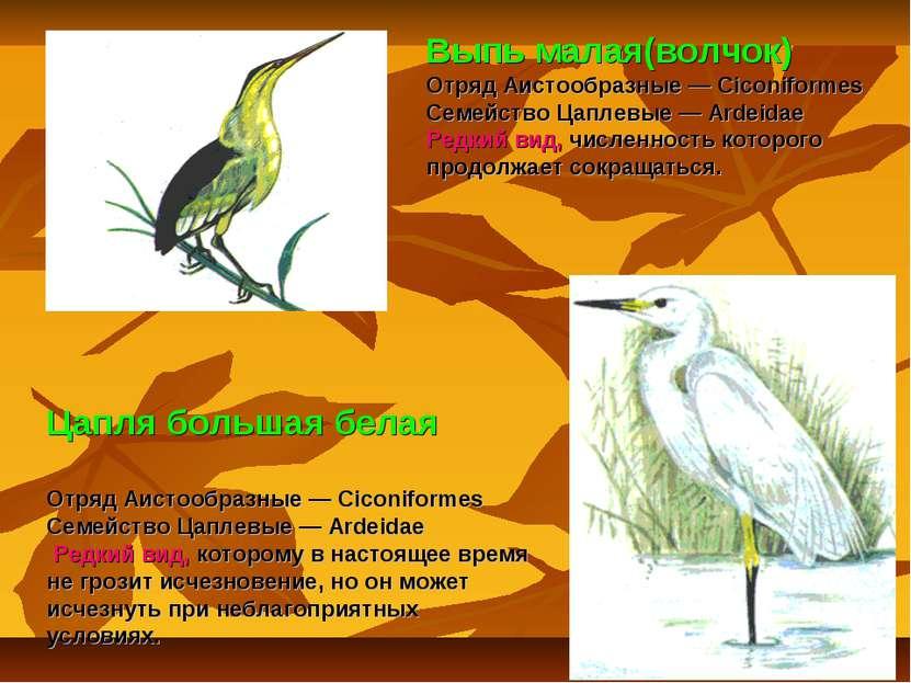 Цапля большая белая Отряд Аистообразные — Ciconiformes Семейство Цаплевые — A...