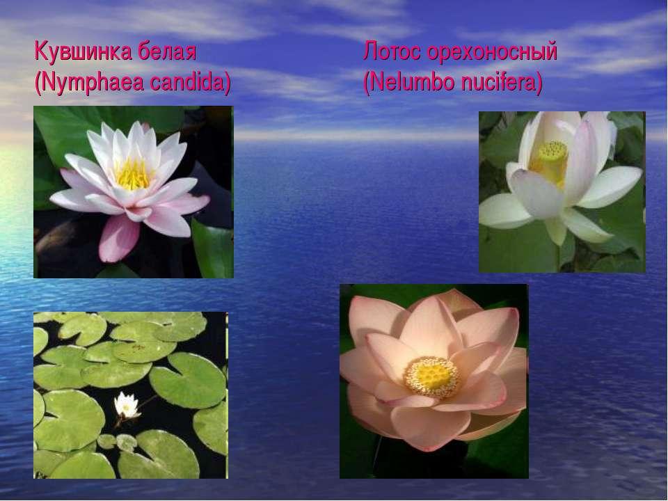 Кувшинка белая (Nymphaea candida) Лотос oрехоносный (Nelumbo nucifera)