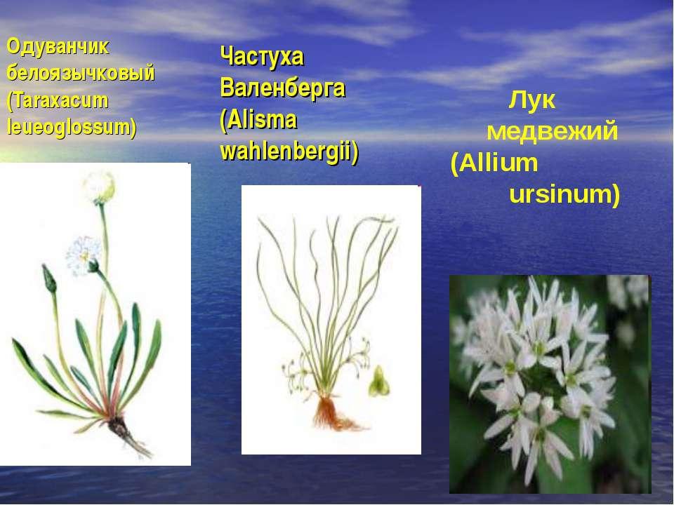 Одуванчик белоязычковый (Taraxacum leueoglossum) Частуха Валенберга (Alisma w...