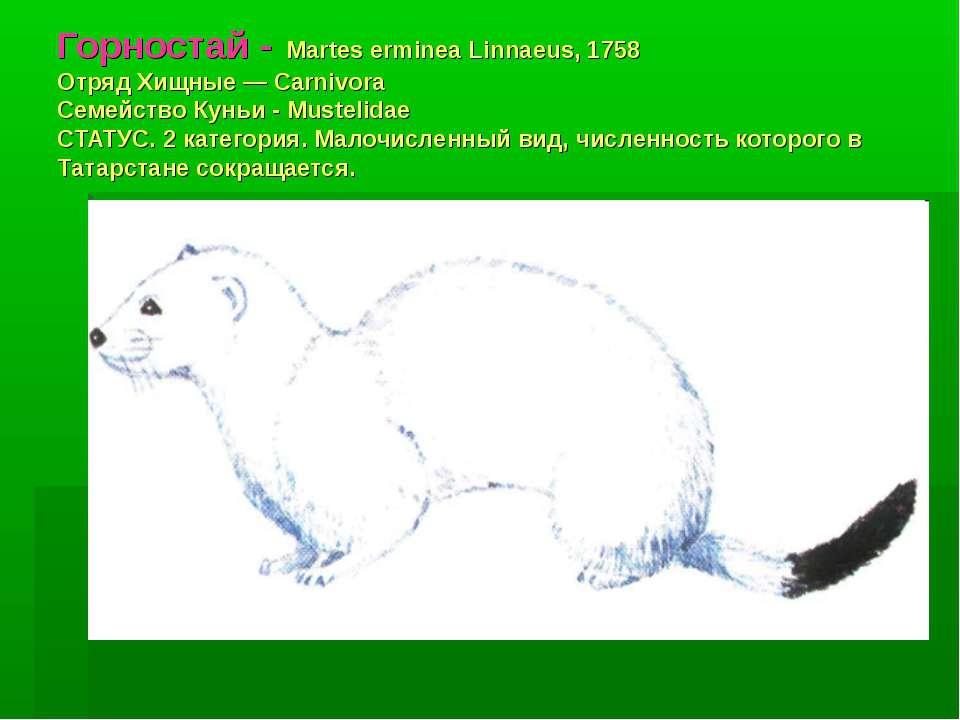 Горностай - Martes erminea Linnaeus, 1758 Отряд Хищные — Carnivora Семейство ...