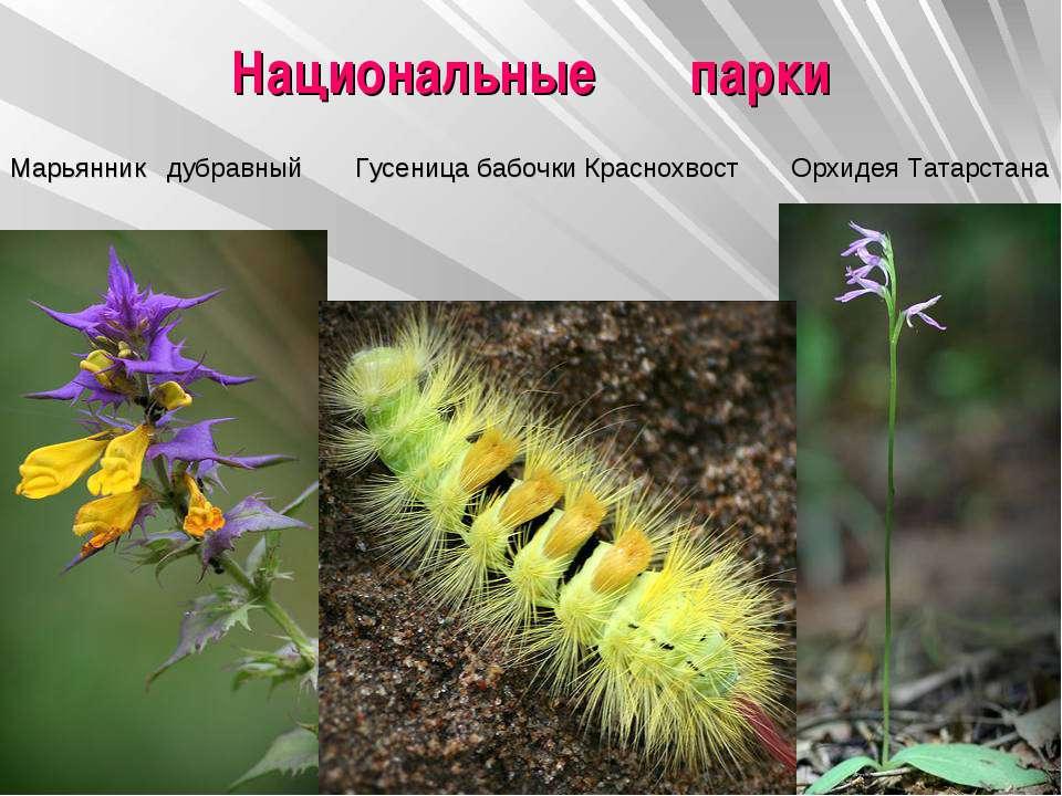Национальные парки Марьянник дубравный Гусеница бабочки Краснохвост Орхидея Т...