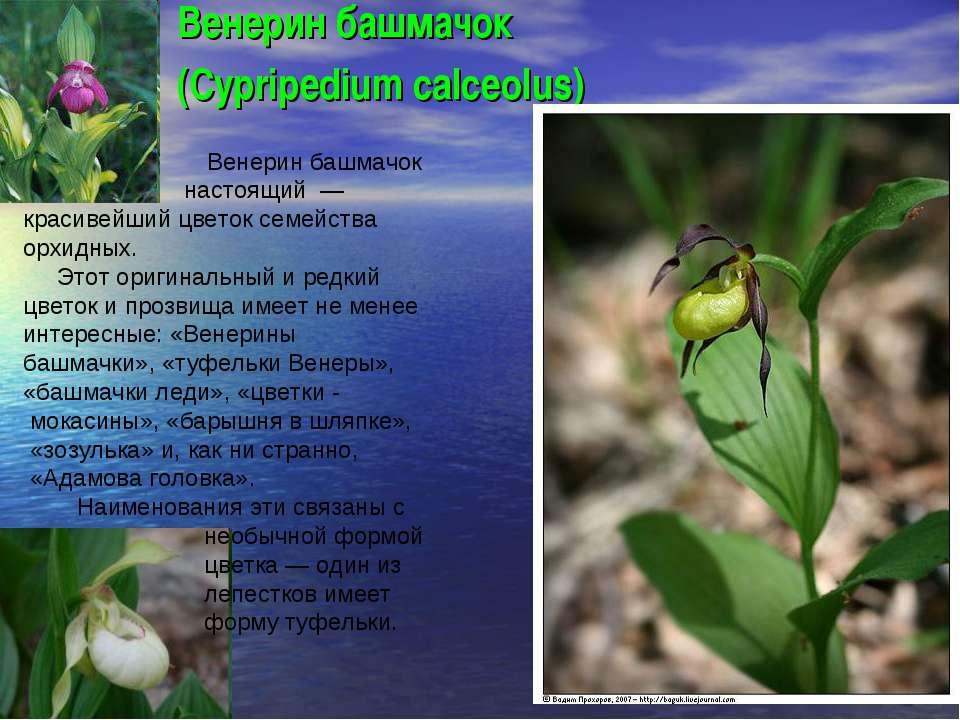 Венерин башмачок (Cypripedium calceolus) Венерин башмачок настоящий — красиве...
