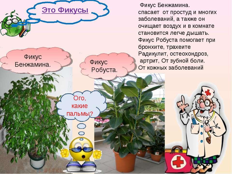 Фикус Бенжамина. спасает от простуд и многих заболеваний, а также он очищает ...