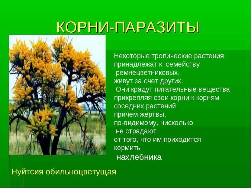 КОРНИ-ПАРАЗИТЫ Некоторые тропические растения принадлежат к семейству ремнецв...