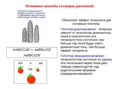 AAbbCCdd x aaBBccDD AaBbCcDd Объясняют эффект гетерозиса две основные гипотез...