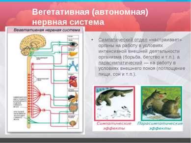 Вегетативная (автономная) нервная система Симпатический отдел «настраивает» о...