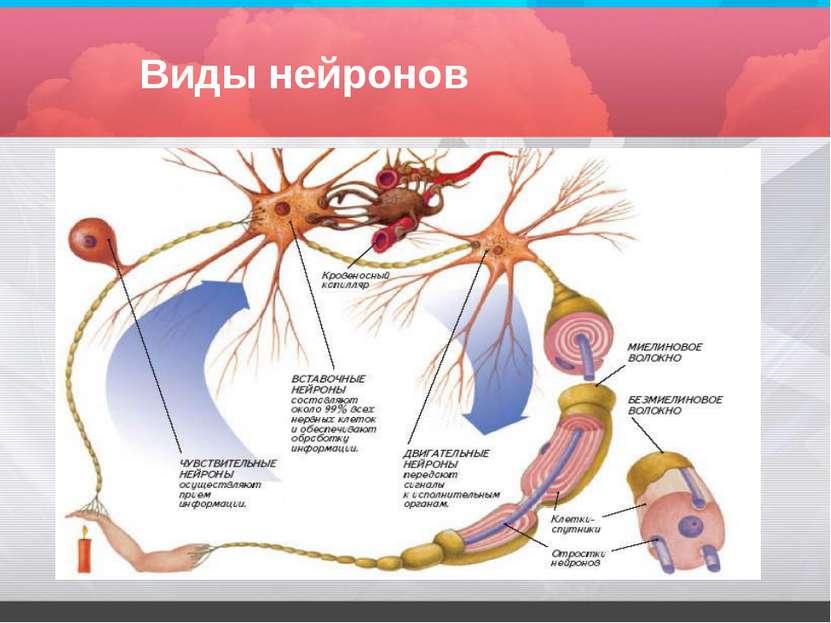 Виды нейронов