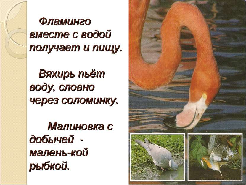 Фламинго вместе с водой получает и пищу. Вяхирь пьёт воду, словно через солом...