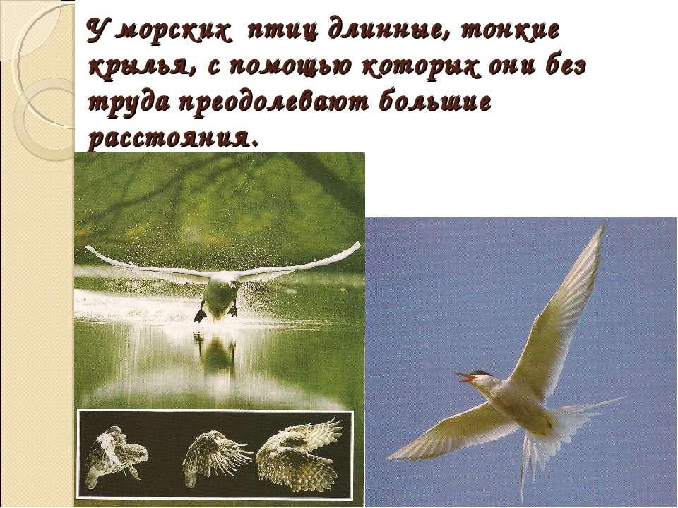 У морских птиц длинные, тонкие крылья, с помощью которых они без труда преодо...