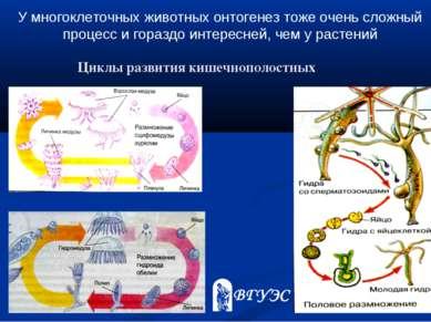У многоклеточных животных онтогенез тоже очень сложный процесс и гораздо инте...