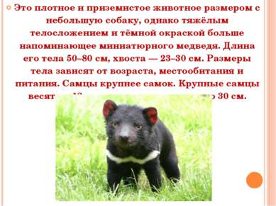 Это плотное и приземистое животное размером с небольшую собаку, однако тяжёлы...
