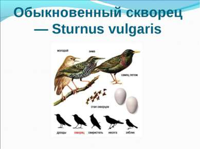 Обыкновенный скворец — Sturnus vulgaris