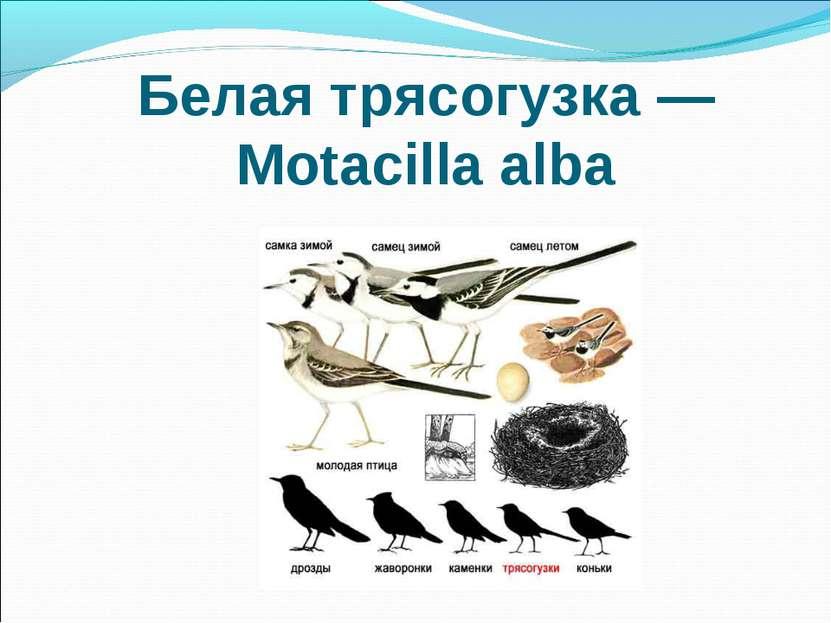 Белая трясогузка — Motacilla alba