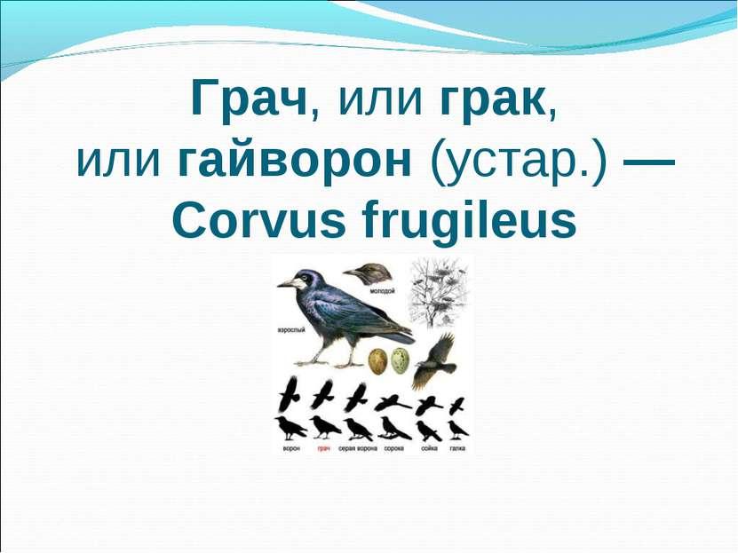 Грач, илиграк, илигайворон(устар.)— Corvus frugileus